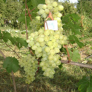 Саджанці Винограду Галбена Ноу - раннього терміну, урожайний, морозостійкий