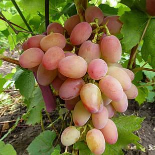 Саджанці Винограду Геліос - середнього терміну, урожайний, морозостійкий