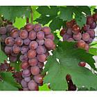 Саджанці Винограду Дашуня - раннього терміну, транспортабельний, урожайний, фото 2