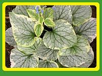 Бруннера крупнолистная Кингс Рэнсом  садовые цветы (саженец в горшке р-9 )
