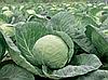 Семена капусты б/к Лема F1 1000 семян (калиброванные) Rijk Zwaan