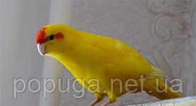Новозеландский попугай, Какарик желтый