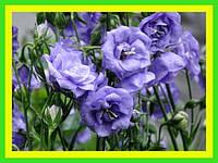 Колокольчик персиколистный Ла Белле Блю , садовые цветы (саженец в горшке р-9 )