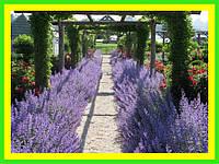 Котовник, садовые цветы (саженец в горшке р-9 )