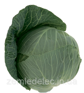 Семена капусты б/к Такома F1 1000 семян Rijk Zwaan