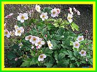 Анемона японская, садовые цветы (саженец в горшке р-9 )