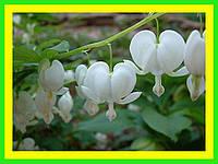 Дицентра белая, садовые цветы (саженец в горшке р-9 )