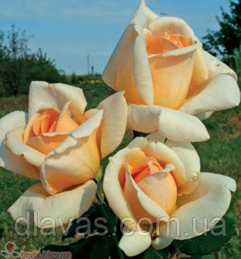 Саженцы роз. Роза плетистая.