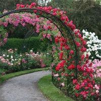 Розы плетистые (вьющиеся)