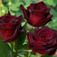 Розы саженцы оптом