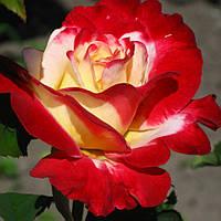 Роза Дабл Делайт. Чайно-гибридная., фото 1
