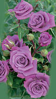 Саженцы роз. Роза плетистая., фото 1