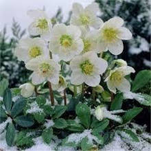 Морозник ( Helleborus )