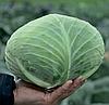 Семена капусты б/к Джинтама F1 1000 семян (калиброванные) Rijk Zwaan