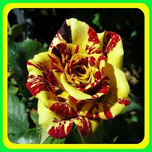 Роза бордюрная Абракадабра (Abracadabra), фото 2