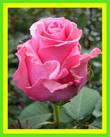 Розы - Чайно-гибридные сорт Балет  ( саженцы )