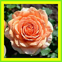 Розы - Чайно-гибридные сорт Кинс Прайд  ( саженцы )