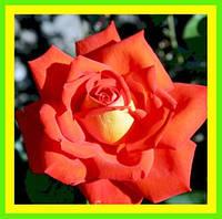 Розы - Чайно-гибридные сорт Лас Вегас  ( саженцы )