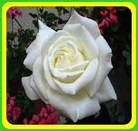 Розы - Чайно-гибридные сорт Мемори  ( саженцы )