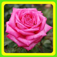 Розы - Чайно-гибридные сорт Душ Трауш  ( саженцы )
