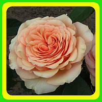 Розы - Чайно-гибридные сорт Таити ( саженцы )