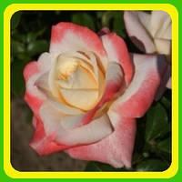 Розы - Чайно-гибридные сорт Фиджи  ( саженцы )