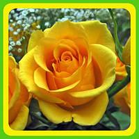 Розы - Чайно-гибридные сорт Голден Медальон  ( саженцы )