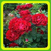 Розы - Чайно-гибридные сорт Heinz Winkler. Хайнц Винклер  ( саженцы )