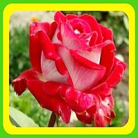 Роза чайно-гибриднаяЛатин Леди(Latin Ledi)  ( саженцы )