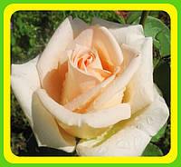 Розы - Чайно-гибридные сорт Осиана  ( саженцы )