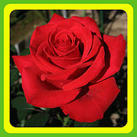 Розы - Чайно-гибридные сорт Красная Магия  ( саженцы )