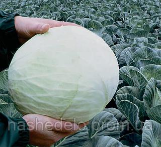 Семена капусты б/к Анкома F1 1000 семян (калиброванные) Rijk Zwaan