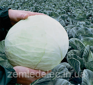 Семена капусты б/к Анкома F1 10000 семян (калиброванные) Rijk Zwaan