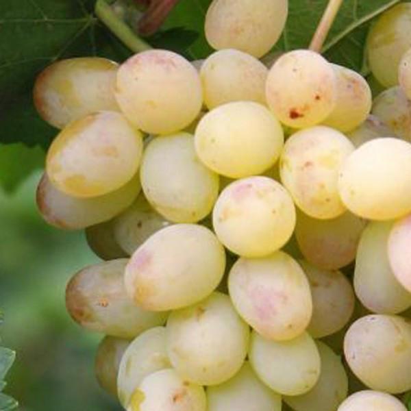 Саженцы Винограда Вива Айка - раннего срока, крупноплодный, транспортабельный