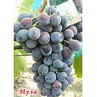 Саджанці Винограду Муза - середнього терміну, урожайний, морозостійкий, фото 2