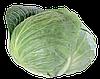 Семена капусты б/к Септима F1 2500 семян (калиброванные) Rijk Zwaan