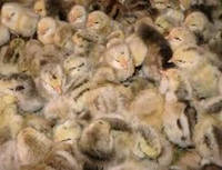 Мясо-яичные цыплята Мастер Грей Master Grey (Венгрия) Боромля, фото 1