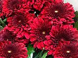Хризантема БАРКА РЕД срезочная крупноквіткова, фото 3