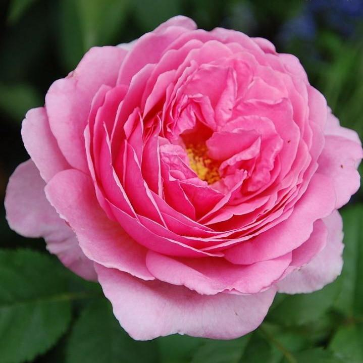 Саженцы розы английской Принцесс Александра оф Кент (Rose Princess Alexandra of Kent)