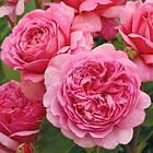 Саженцы розы английской Принцесс Александра оф Кент (Rose Princess Alexandra of Kent), фото 2