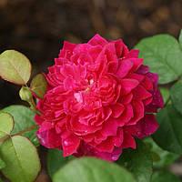 Роза английская Софи Роуз (Sophy's Rose)