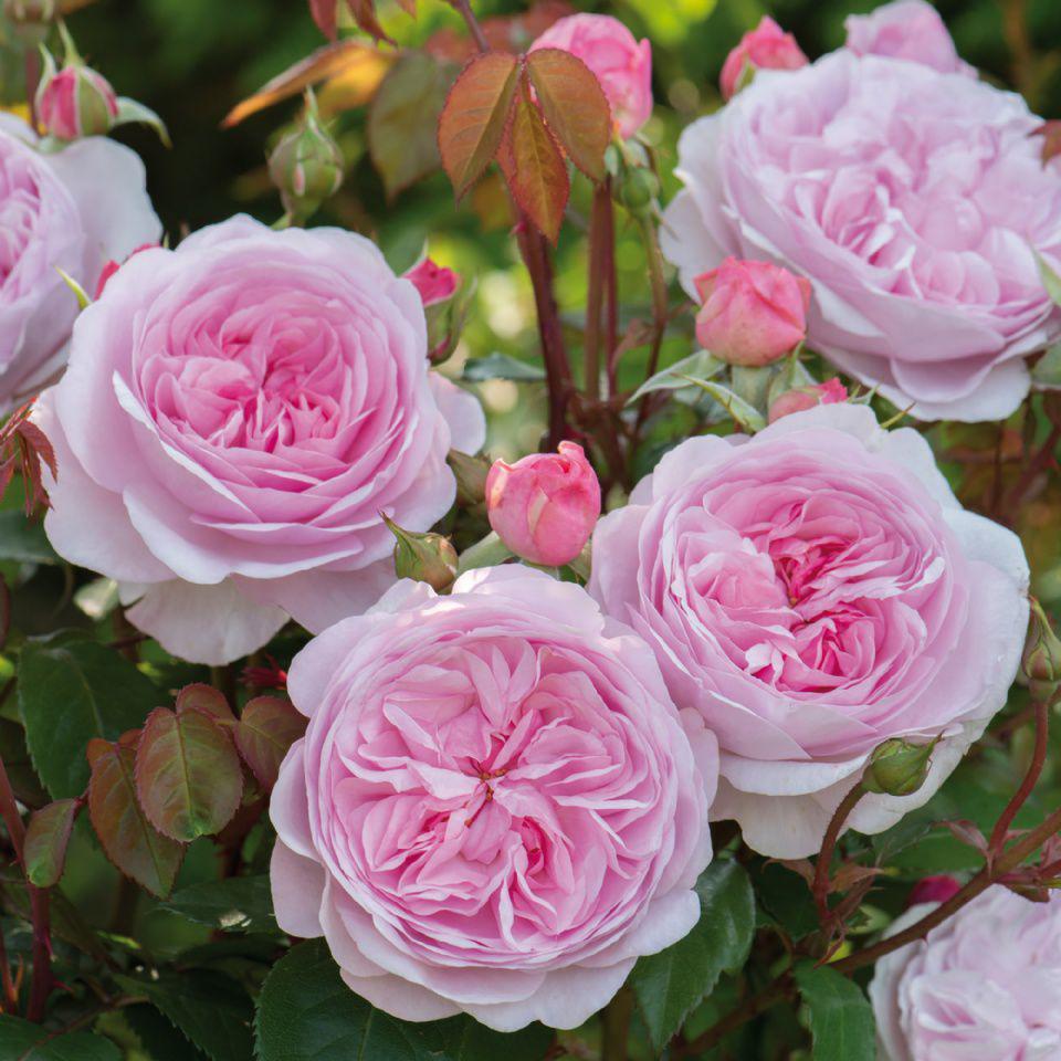 Саджанці троянди англійської Олівія Роуз Остін (Rose Olivia Rose Austin)
