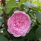 Саджанці троянди англійської Олівія Роуз Остін (Rose Olivia Rose Austin), фото 2