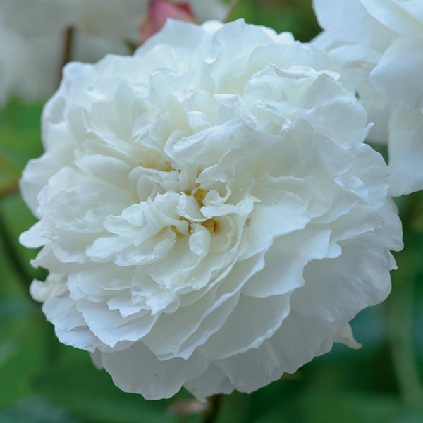 Саджанці троянди англійської Сьюзен Вільямс - Елліс (Rose Susan Williams-Ellis)