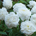 Саджанці троянди англійської Сьюзен Вільямс - Елліс (Rose Susan Williams-Ellis), фото 2