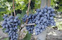 """Виноград темно-синій ранній """"Фуршетний"""""""