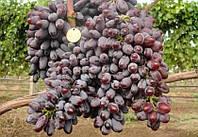 """Виноград темно-синій ранній кишмишний """"Юпітер"""""""