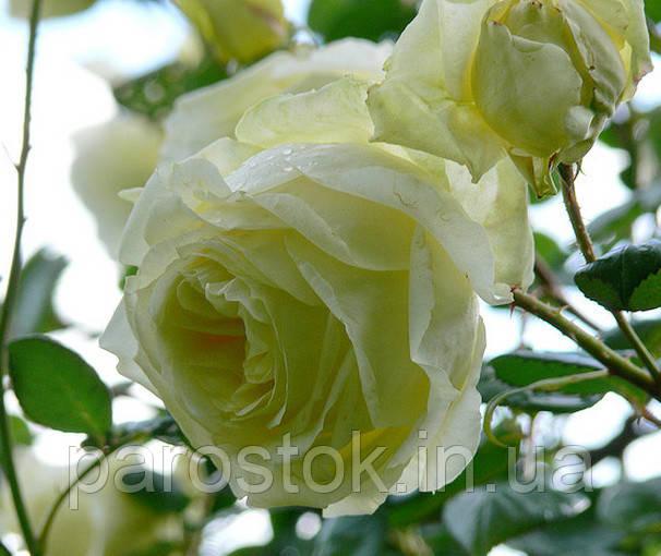 Роза Эльф. Плетистая роза