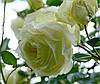 Роза Эльф. Плетистая роза.