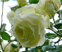 Роза Эльф. Плетистая роза. , фото 1